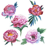Wildflower peony flower in a watercolor style isolated.