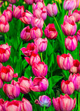 tulips. field of tulips. tulips flowers