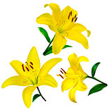 lily flowers isolated. lily flowers. lily flowers isolated on wh
