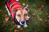 jack russell terrier dog in park looking at camera