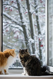 The Persian cats look out of the window on the winter park with trees