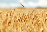 cereal field with spikelets of ripe rye or wheat