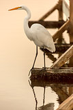 Great Egret (Ardea alba) perched on a dock by the lake. Shoreline Park, Mountain View, California, USA.
