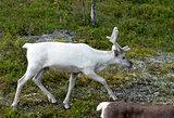 full grown shaggy Reindeer with peeling shedding
