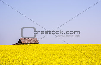 Canola crop farm field during summer with barn