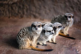 A family of Merkats