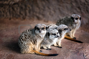 A family of Merkats
