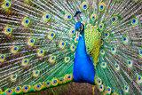 Blue India Peafowl - Pavo cristatus (Linnaeus, 1758)