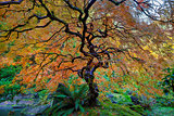 The Other Japanese Maple Tree in Autumn