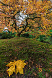 The Japanese Maple Tree in Autumn 2016