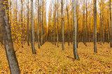 Poplar Tree Farm in Oregon