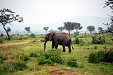 Elephant isolated in the savanna