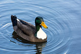 Male Mallard Duck Wading in a Lake