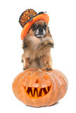 halloween pumpkin and chihuahua