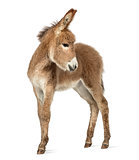 Provence donkey foal looking back isolated on white