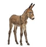 Provence donkey foal isolated on white