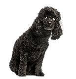 Poodle, sitting and looking up scared, isolated on white
