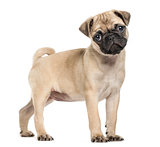 Pug puppy, 3 months old, isolated on white