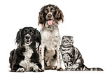 Group of two dogs and a Scottish Fold