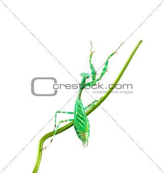 Praying Mantis - Miomantis binotata, on a blade of grass