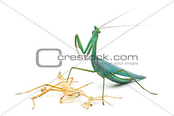 Praying mantis and its Ecdysis, Moulting