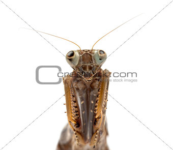 Old and blind female praying mantis isolated on white