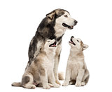Alaskan Malamute puppies and their mum sitting isolated on white