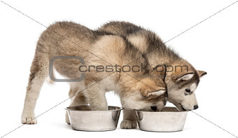 Alaskan Malamute puppies drinking isolated on white