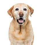 Close-up of Labrador Retriever, 11 years old, isolated on white