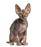 Sphynx kitten sitting isolated on white