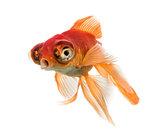 Goldfish islolated on white
