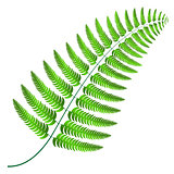 Sprig of bright green fern on a white background.