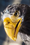 Portrait of Stellers sea eagle - Haliaeetus pelagicus
