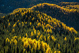 Golden larch trees mixed with green spruce