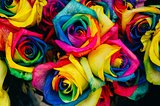 colorful rainbow rose flower blossoms close up