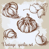 Vector hand drawn garlic set. Vintage retro background with sketched garlics. Kitchen herbs and spices illustration.