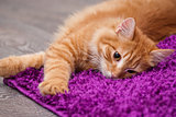 beautiful ginger kitten