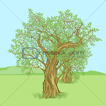 Olive tree in the countryside