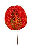 Colorful leaf of smoke tree.
