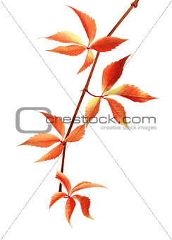 Autumn red branch of grapes leaves