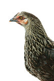 Portrait of the hen