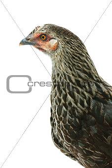 Portrait of the hen