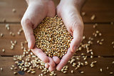 male farmers hands holding malt or cereal grains