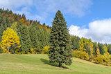 Spruce tree on the field in fall