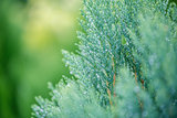 Green leaf of christmas pine tree wet rain drop