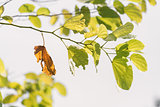 One old brown leaf on branch of green leaves