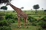 Giraffe which eats tree leaves