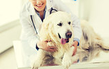 close up of vet with retriever dog at clinic