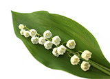 Lily of the valley on the white background