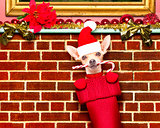 christmas santa claus dog in stockings for xmas